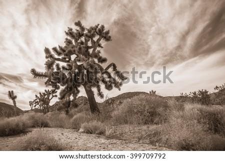 Joshua Tree Landscape in Sepia 6 - stock photo
