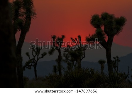 Joshua Tree National Park at sunset.  There were nearby fires this day, which made for the orange sky. - stock photo
