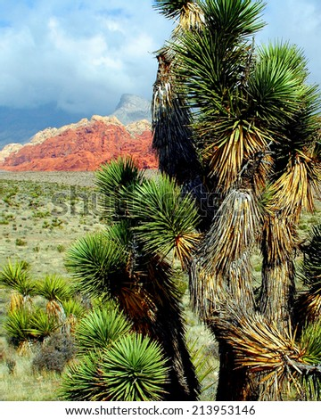 Joshua Tree Red Rock Canyon NV - stock photo