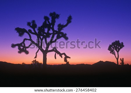 Joshua Tree silhouette, desert in bloom, CA - stock photo