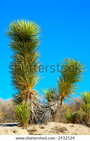 Joshua tree (Yucca brevifolia) is a monocotyledonous tree native to the state of California and photographed in Death Valley National Park, California, USA. - stock photo