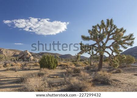 Joshua Tree Yuccas - stock photo