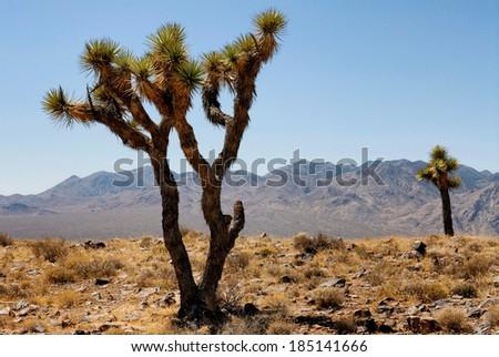 Joshua trees, Death Valley National Park - stock photo
