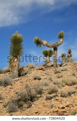 Joshua Trees in Death Valley California - stock photo