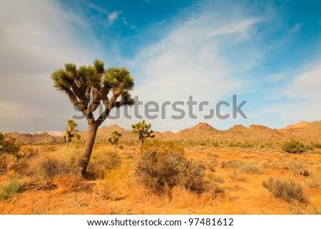 Joshua trees in Joshua Tree National Park. California, USA. - stock photo