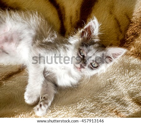 Joyful gray kitten playing on the couch and resting.
