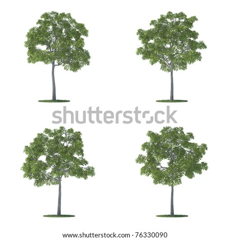 juglans nigra trees collection isolated on white background - stock photo
