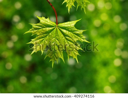 Juicy and fresh leaf of the tree, on a green background, spring nature