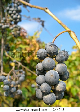 Juicy bunch of purple grapes ripening on the vine