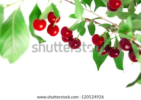Juicy cherries on a branch - stock photo