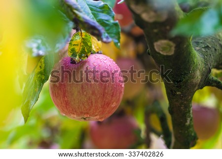 Juicy ripe apple on a tree covered with raindrops. - stock photo