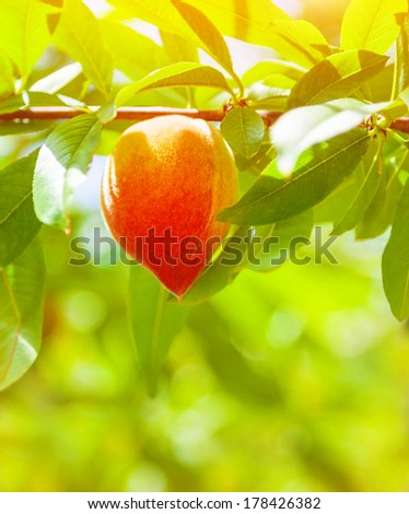 Juicy ripe peach hanging on the tree in orchard, fresh tasty fruit, fruits industry, summer season, growing nature, sunny day, agriculture and farm concept - stock photo