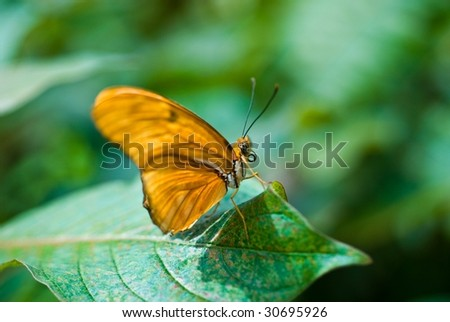 Julia butterfly resting on a leaf taking a break from constant flying - stock photo
