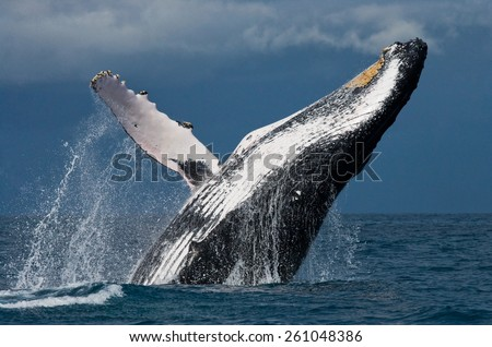 Jump humpback whale. Madagascar - stock photo