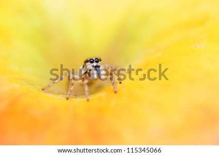 Jumper spider - stock photo