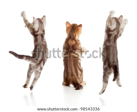 jumping british kitten rear view set - stock photo