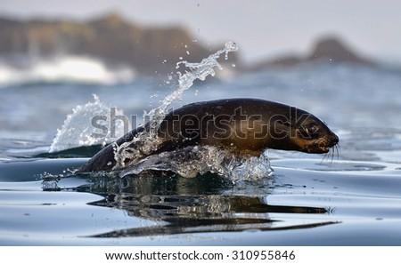 Jumping Cape fur seal (Arctocephalus pusillus pusillus) False Bay, Simon's Town South Africa - stock photo