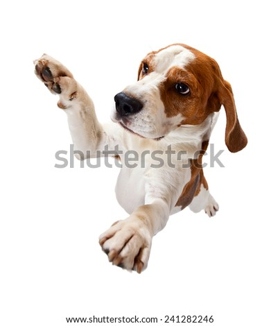 jumping dog isolated on a white background - stock photo