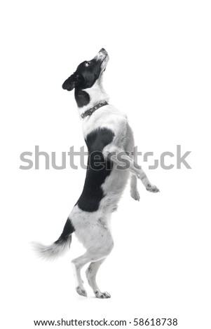 Jumping dog on white background - stock photo
