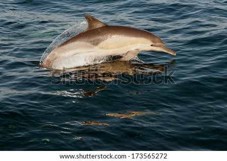 Jumping dolphins. The dolphin comes up from water. The Long-beaked common dolphin (scientific name: Delphinus capensis) swim in atlantic ocean. - stock photo