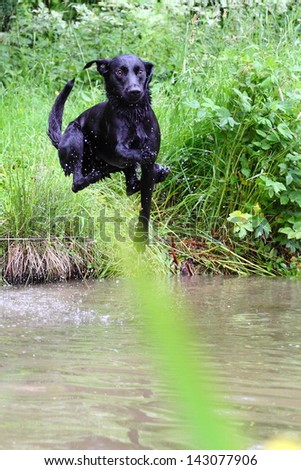 Jumping Labrador Retriever