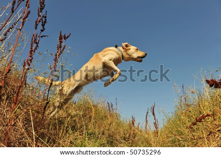jumping purebred labrador retriever in a field in blue sky - stock photo