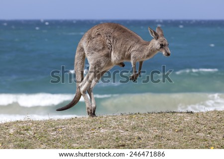 Jumping Red Kangaroo on the beach, Depot Beach,New South Wales, Australia - stock photo