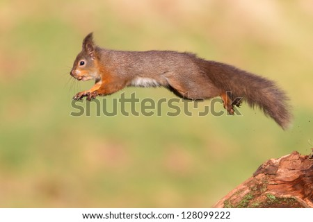Jumping Red Squirrel - stock photo