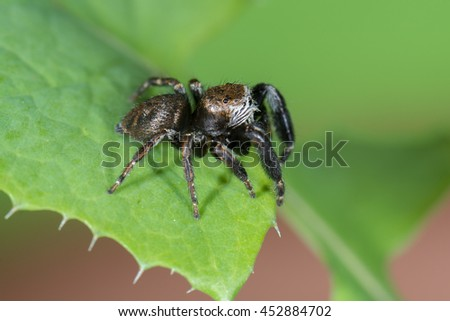 Jumping spider (Evarcha arcuata) male on a leaf of a plant - stock photo