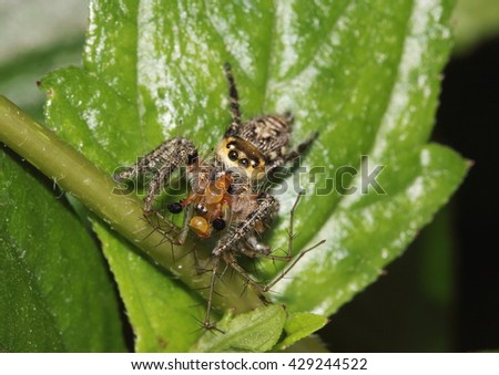 Jumping spider feeding on a lynx spider but having to share its meal with some predator flies that feed on spiders. - stock photo