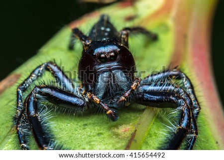 Jumping Spider of Borneo , Close-Up Of Jumping Spider , Macro Shot Of Jumping Spider of Borneo - stock photo