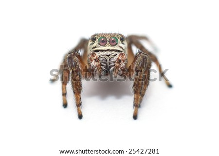 jumping spider on a white background - stock photo