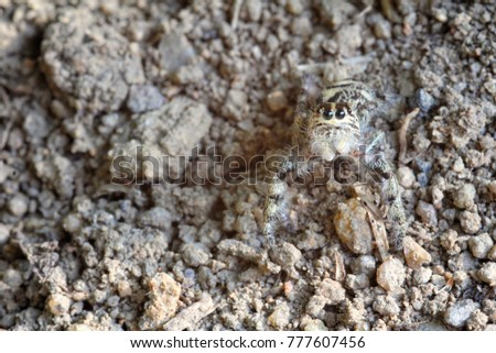 Jumping Spider On Camouflage Mode
