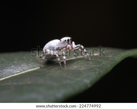 Jumping Spider on the leaf