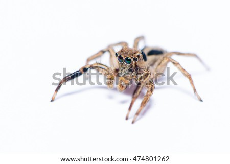 Jumping spider on the white background