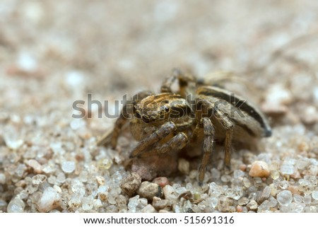 Jumping spider, Phlegra fasciata on sand