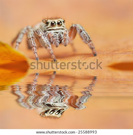 jumping spider reflected on water - stock photo