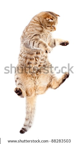 jumping tabby-cat, isolated on white - stock photo