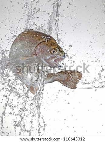 jumping trout with water splash - stock photo
