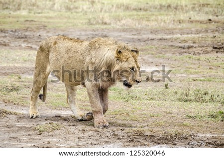Jung male lion walking in Ngorongoro, Tanzania