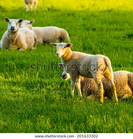 Jung sheep with other sheeps on a meadow - stock photo
