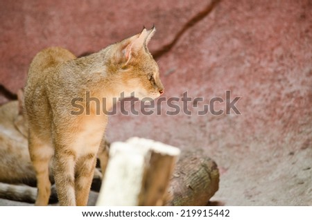 jungle cat live in the zoo - stock photo