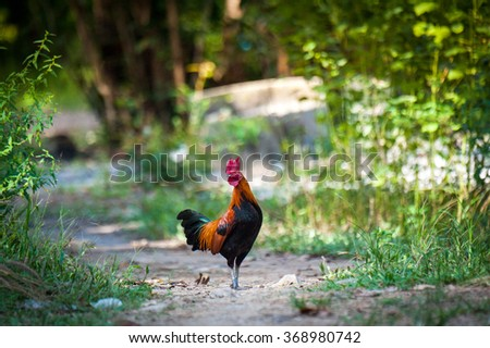 jungle fowl - stock photo