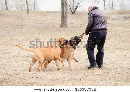 Junior and adult dogs bulmastiff played with the coach in the park