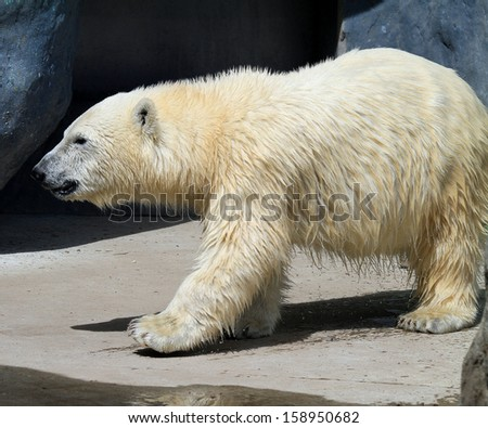 Junior Polar Bear - stock photo