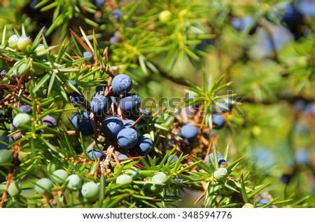juniper  - stock photo
