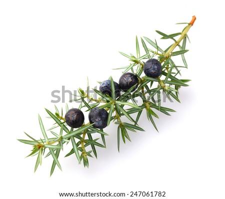 Juniper berries - stock photo