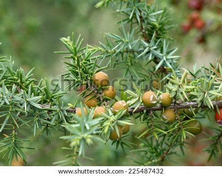 Juniper berries during autumn - stock photo