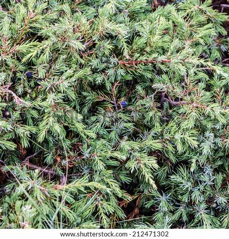 Juniper berry - stock photo