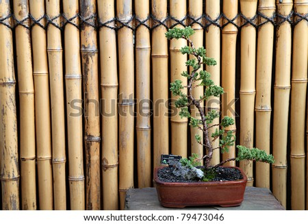 Juniper Bonsai tree with a bamboo background - stock photo